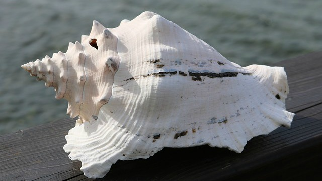 martinique coquillage mer